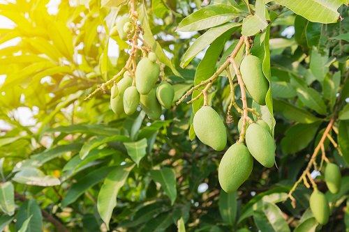 Mango tree , Aam ,Mangifera indica , آم