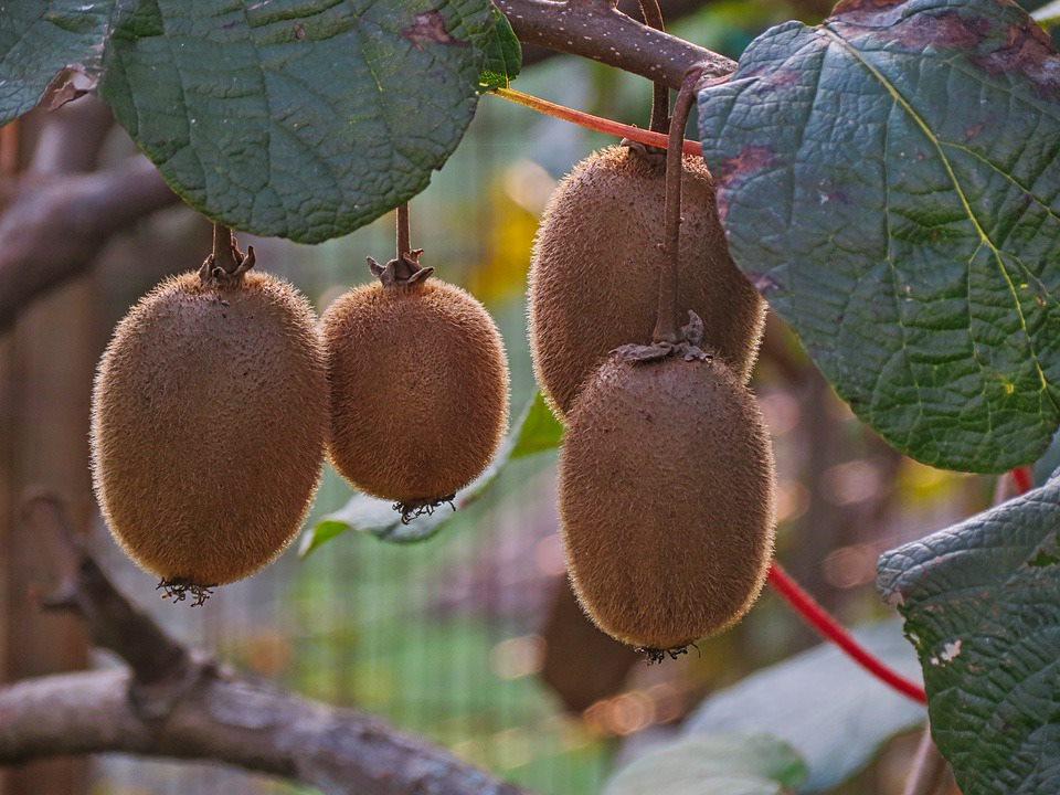 Kiwiplantage