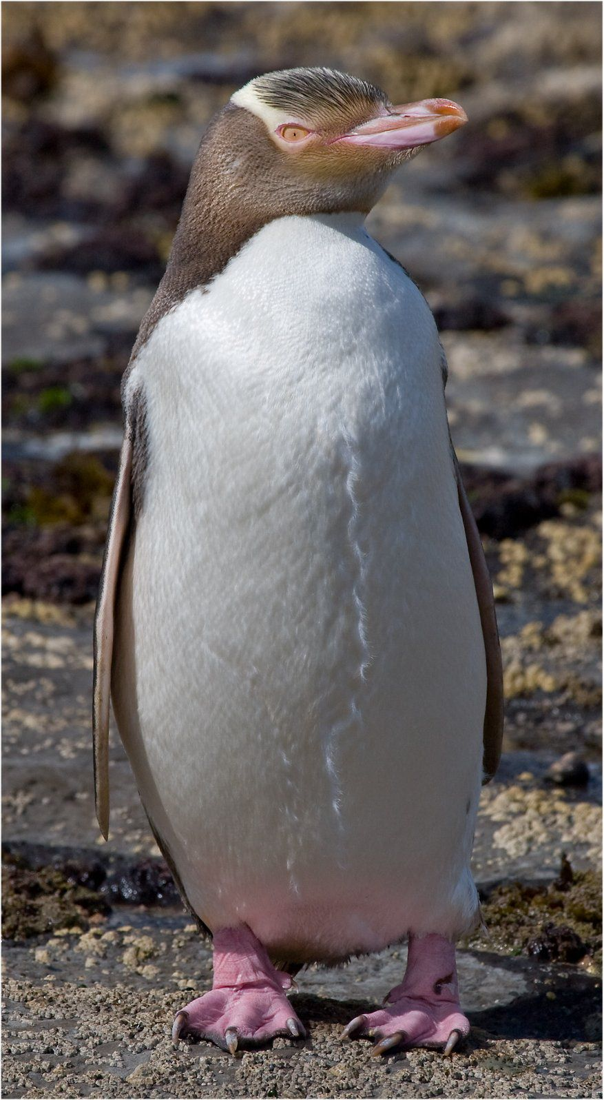 Gelbaugen-Pinguin Neuseeland