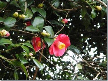 やぶつばきの花